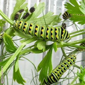 Different instars