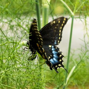 Female laying an egg
