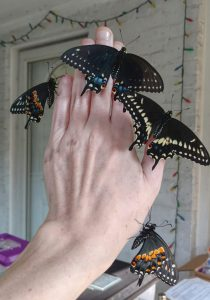 Handful of newly eclosed Swallowtails