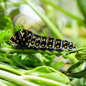 3rd-4th instar Black Swallowtail