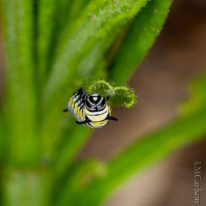 2nd instar Monarch