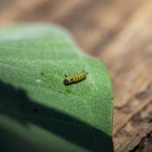 1st instar Monarch caterpillar